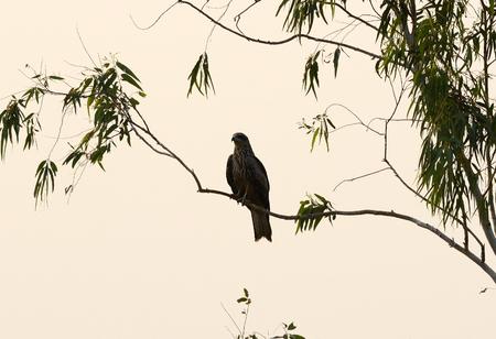 milvus:  beautiful alone Black Kite  Milvus migrans  standing on branch
