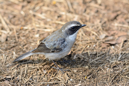 beautiful male Grey Bushchat  Saxicola ferreaus  standing on ground photo