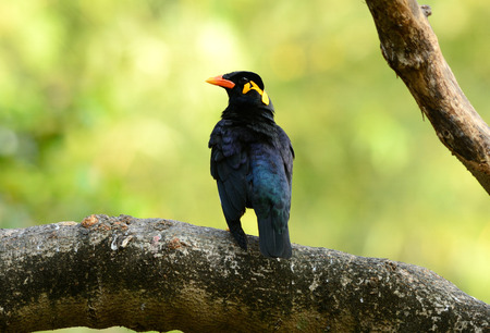beautiful Hill Myna (Gracula religiosa) in forest photo
