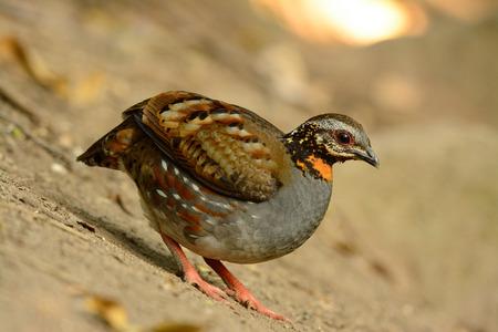 perdrix: belle perdrix � gorge rousse (Arborophila rufogularis) dans la for�t Banque d'images