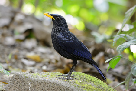 beautiful blue whistling thrush (Myiophoneus caeruleus) in forest photo
