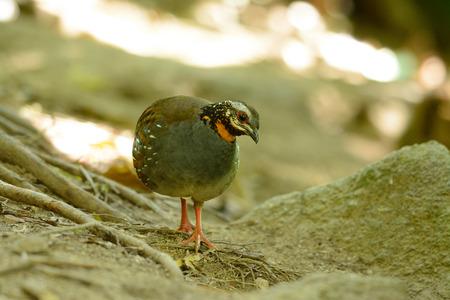 kuropatwa: beautiful rufous-throated partridge (Arborophila rufogularis) in forest Zdjęcie Seryjne