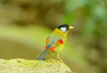 mesia: beautiful male silver-eared mesia (Leiothrix argentauris) in forest Stock Photo