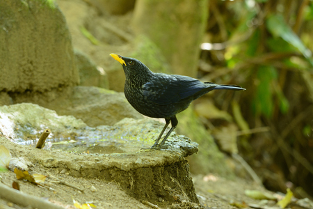 beautiful blue whistling thrush (Myiophoneus caeruleus) in Thai forest photo