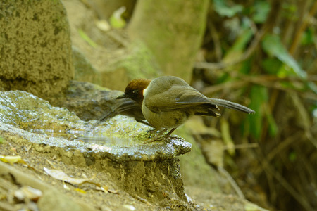 beautiful white-necked laughingthrush (Garrulax strepitans) in forest photo