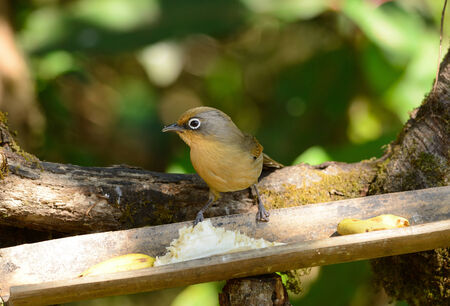 spectacled: beatiful Spectacled Barwing (Actinodura ramsayi) possing on branch