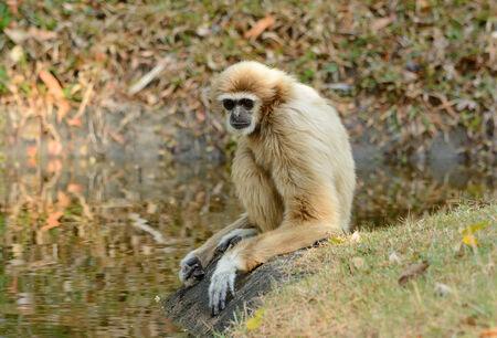 handed: beautiful White-handed Gibbon (Hylobates lar) sitting on ground