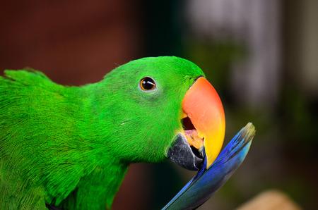 eclectus roratus: beautiful male Eclectus Parrot (Eclectus roratus) as pet Stock Photo