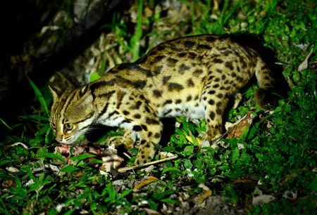 beautiful Leopard Cat (Prionailurus bengalensis) in Thai forest