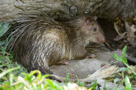 brush tailed: beautiful male Asiatic Brush-tailed Porcupine (Atherurus macrourus) as sleeping in cave