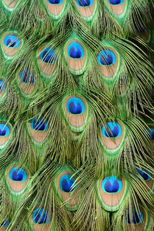indian peafowl: beautful feather of Indian peafowl (Pavo cristatus)