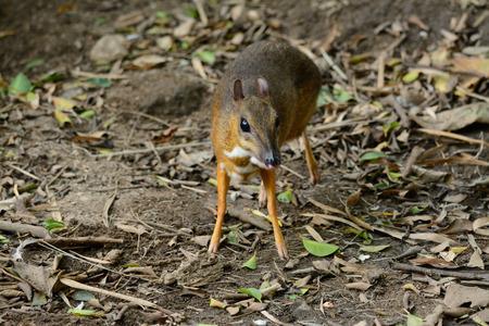 beautiful male Lesser Mouse-deer or Lesser Oriental Chevrotain (Tragulus javanicus) in Thai forest photo