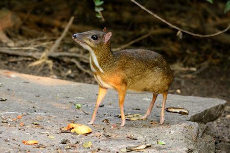 beautiful male Lesser Mouse-deer or Lesser Oriental Chevrotain (Tragulus javanicus) in Thai forest