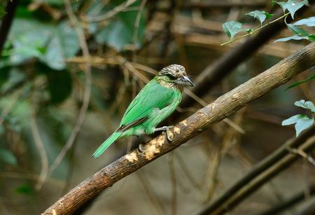 beautiful green-eared barbet (Mgalaima faiostrica) in fruiting tree photo