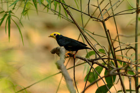 beautiful male Golden-crested Myna (Ampeliceps coronatus) in Thai forest photo