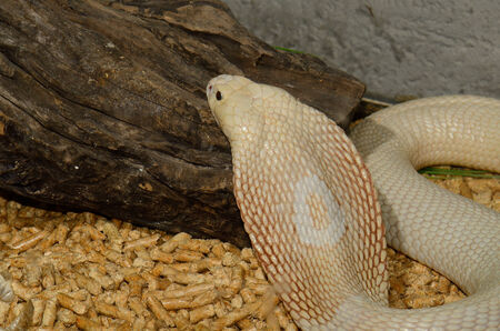 beautiful albino Monocellate Cobra (Naja kaouthia) in terrarium photo