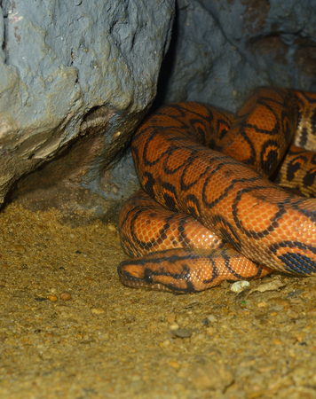 beautiful Brazilian Rainbow Boa (Epicrates cenchria) sleeping in terrarium photo