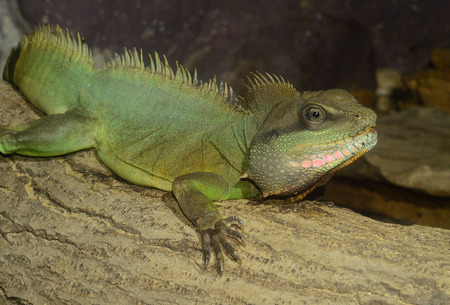 beautiful adult male normal phase Chinese water dragon (Physignathus cocincinus) Stock Photo