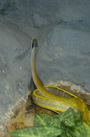 taeniura: beautiful Yunan Stripe-tailed Rat Snake (Elaphe taeniura yunnanensis) in terrarium