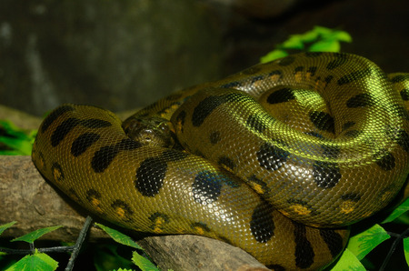 pythons: beautiful Green Anaconda (Eunectes murinus) sleeping in terrarium