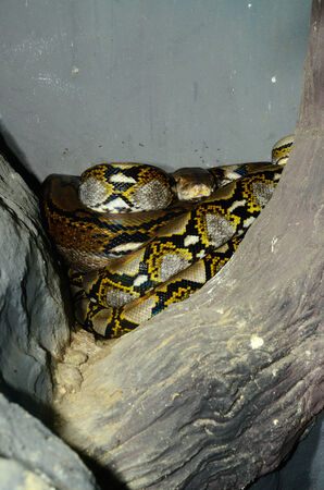 beautiful Reticulated Python (Python reticulatus) sleeping in terrarium photo