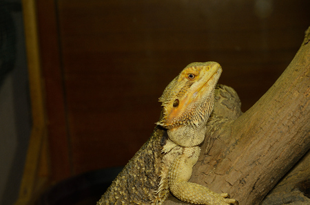 beautiful adult normal phase bearded dragon (Pogona vitticeps)