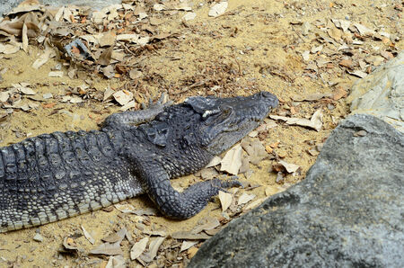 beautiful siamese crocodile sun bathing at middle of Thailand Stock Photo - 27090495
