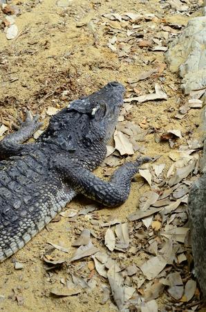beautiful siamese crocodile sun bathing at middle of Thailand Stock Photo - 27090496