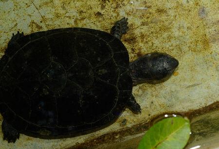 terrapin: bella Black Pond Terrapin (Siebenrockiella crassicollis) nel Tempio thailandese