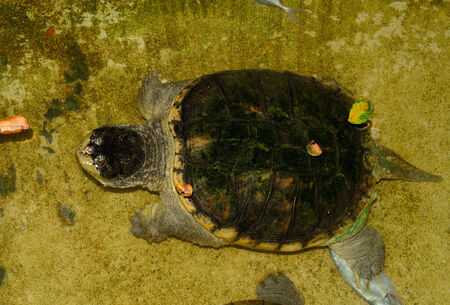 snapping turtle: beautiful Common Snapping Turtle (Chelydra serpentina) in terrarium Stock Photo
