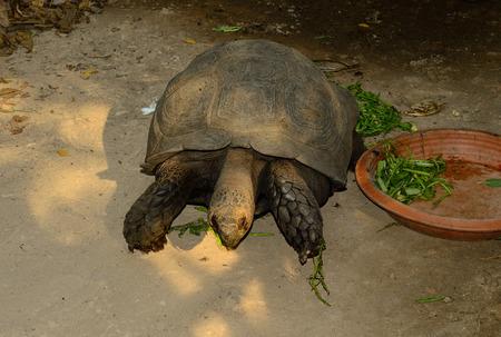 beautiful Black Giant Tortoise (Manouria emys phayrei) in Thai temple
