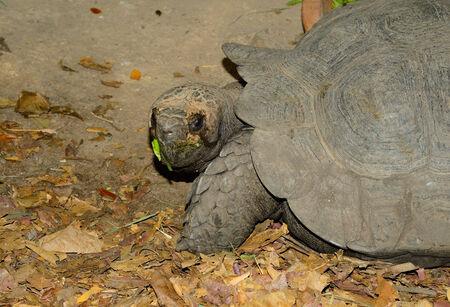 emys: beautiful Black Giant Tortoise (Manouria emys phayrei) in Thai temple