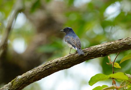 beatiful Blue-and-white Flycatcher (Cyanoptila cyanomelana) possing on the branch Stock Photo