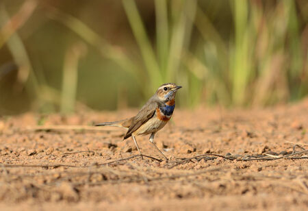 beautiful male Bluethroat (Luscinia svecica) standing on ground photo