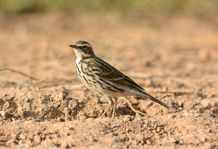 beautiful Rosy Pipit (Anthus roseatus) on ground photo