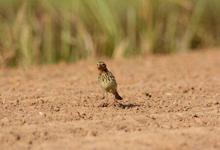 beautiful male Red-throated Pipit (Anthus cervinus) on ground photo