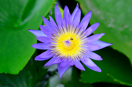 botanica: beautiful purple lotus flower (Nymphaea sp.) in south of Thailand Stock Photo