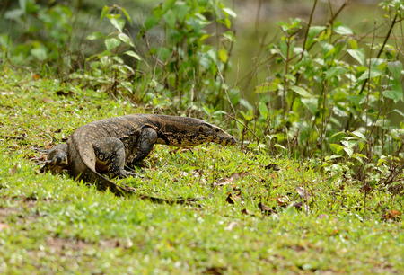 beautiful adult Water Monitor (Varanus salvator) resting on ground photo