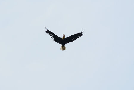 beautiful male Wreathed Hornbill (Aceros undulatus) flying in the sky photo