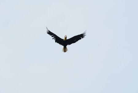 undulatus: beautiful male Wreathed Hornbill (Aceros undulatus) flying in the sky Stock Photo