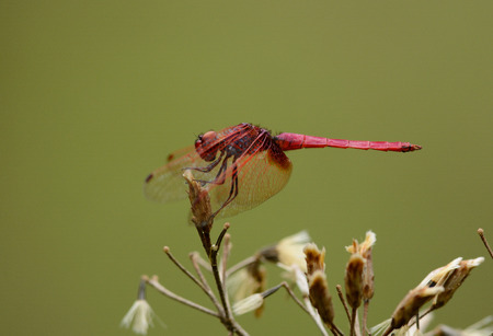 trithemis: beautiful male Crimson Marsh Glider dragonfly (Trithemis aurora) in Thai forest Stock Photo