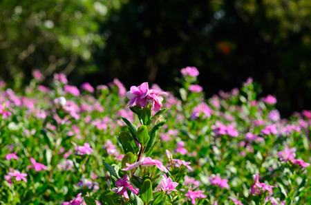 petunia wild: beautiful Petunia flower (Petunia hybrida) at Thai flower garden Stock Photo