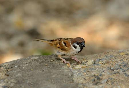 passer by: beautiful Eurasian Tree-Sparrow (Passer montanus) on the ground