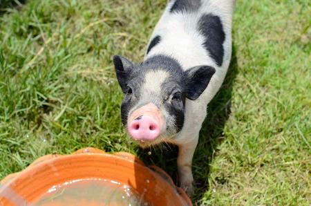 pot belly: Thai style Vietnamese Pot Belly piglet nursery house in Thai pig farm