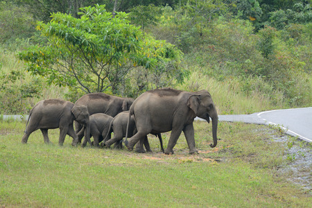 beautiful family of Asian Elephant (Elephas maximus) at Khao-Yai national park,Thailand photo