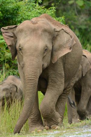 mooie familie van de Aziatische olifant (Elephas maximus) in Khao-Yai nationaal park, Thailand