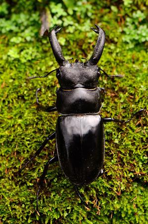 beautiful male Khao-yai stag beetle (Hexarthrius nigritus) at Khao-yai national park,Thailand photo