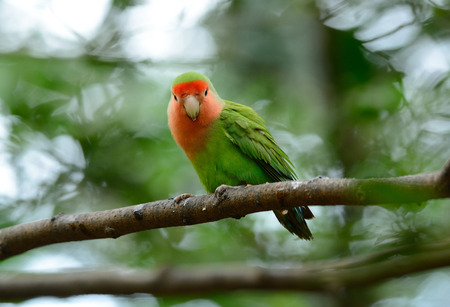faced: beautiful rosy-faced lovebird (Agapornis roseicollis) at tree top