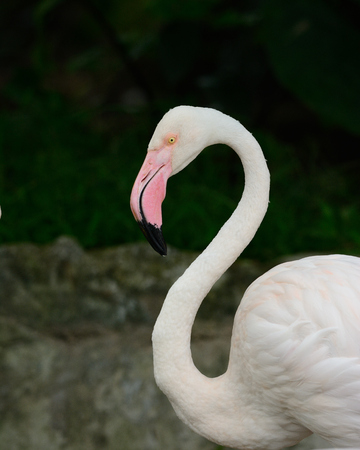 widespread:  beautiful greater flamingo (Phoenicopterus roseus) the most widespread species of the flamingo family