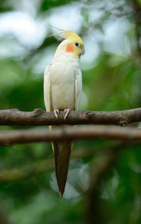 mutation: beautiful Lutino mutation cockatiel (Nymphicus hollandicus) at tree top Stock Photo